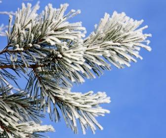 霜がついた松