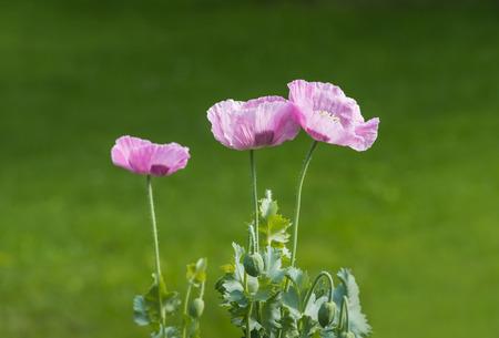 ピンクのケシの花