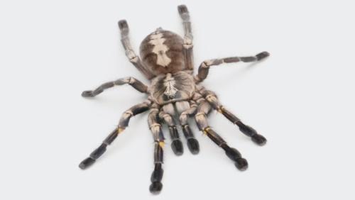 タランチュラ(蜘蛛)