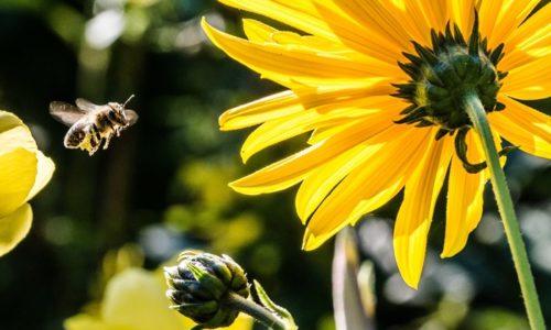 蜂と黄色い花