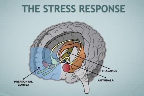 ストレスに対する脳の反応