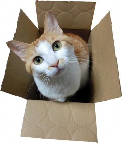 空き箱に入った猫